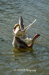 La communauté des Oiseaux (leguen.maxime) Tags: oiseaux oie cygne mouette nature loiret 2018 rivière animal animaux