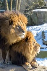 Warmer together (Maryna K.) Tags: animal lion bigcat zoo animalplanet zoomunich