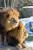 Warmer together (Maryna K.) Tags: animal lion bigcat zoo animalplanet zoomunich