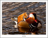 Mandarin Drake, Balloch (flatfoot471) Tags: 2017 balloch bird duck mandarin march nature normal riverleven rural scotland spring unitedkingdom westdunbartonshire gbr