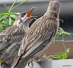 juvenile wattle bird being fed (damselfly58) Tags: wattlebird juvenile baby garden bird nature australianbird australia earth