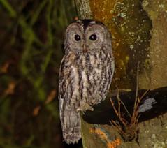 Tawny Owl (xDigital-Dreamsx) Tags: bird birdofprey nature wildlife woodland forest perch talons tawny night
