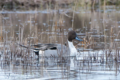 Pintail in the reeds