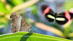 Peripheral Vision (dianne_stankiewicz) Tags: butterfly photobomb wildlife nature insect butterflies vision peripheral