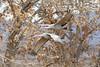 Sandhill cranes (dpsager) Tags: bird birds bosquedelapache bosquedelapachenationalwildliferefuge crane dpsagerphotograph newmexico sandhillcrane socorrocounty saariysqualitypictures