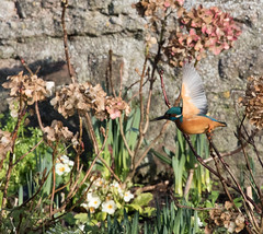 Kingfisher taking off (Mukumbura) Tags: kingfisher bird fish fishing catch water splash flying wildlife england alcedoatthis bishopspalace moat wells somerset nature wall rock
