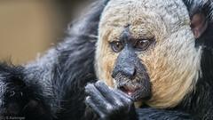 Zoo Lille (skaikinger) Tags: lille zoo singe monkey d7100