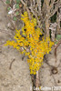 Lichen (Luís Gaifém) Tags: lichen líquene luísgaifém macro natureza nature fungi fungo cogumelo mushroom praiadaramalha apúlia pnln pnlitoralnorte