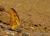 Dryas iulia (Fabricius, 1775) (Marquinhos Aventureiro) Tags: wildlife vida selvagem natureza floresta brasil brazil hx400 marquinhos aventureiro marquinhosaventureiro borboleta butterfly adventure nature nymphalidae dryas iulia