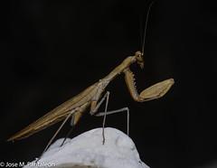 8-El color del adulto lo determina el del medio en el que habita durante su última muda (por ejemplo, amarillo, si se trata de paja seca, o verde, si es hierba fresca).  Es el único animal conocido que cuenta con un único oído, y lo tiene en el torax! (Cimarrón Mayor 14,000.000. VISITAS GRACIAS) Tags: kingdomanimalia phylumarthropoda classinsecta ordermantodea familymantidae subfamilystagmomantinae genusstagmomantis lugardecapturaislabeata repdominicana dominicanrepublic quisqueya repúblicadominicana caribe républiquedominicaine caraïbes caraibi repubblicadominicana dominikanischerepublik karibik karaiby dominikana dominikarerrepublika karibe dominikanskerepublik caribien dominikanskerepublikk karibien доминиканскаяреспублика карибскийбассейн cimarrónmayor panta pantaleón josémiguelpantaleón objetivo500mm telefoto700mm 7dmarkii canoneos canoneos7dmarkii naturaleza libertad libertee libre free fauna dominicano montañas