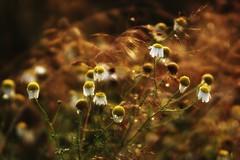 *** (pszcz9) Tags: samyang przyroda nature natura lato summer kwiat flower zbliżenie closeup beautifulearth bokeh sony a77