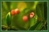 Spindelstrauch mit Samenkapsel (günter mengedoth) Tags: makro nahaufnahme bokeh pflanze strauch frucht samen saariysqualitypictures garten pentaxk1 ricoh