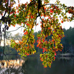Under the Awning at Sunrise (Goromo) Tags: autumn sunrise mortonarboretum maple hybridmapletree lake fall fallcolor tree leaves
