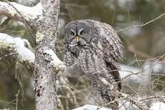 What's so funny? (jrlarson67) Tags: great gray grey owl saxzim bog mn minnesota strix nebulosa chouette lapone