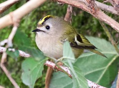 Goldcrest - Taken at Sywell Country Park, Sywell, Northamptonshire. UK (Ian J Hicks) Tags: