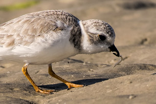 Bunche Beach: Piping Plover Grabs the Grub