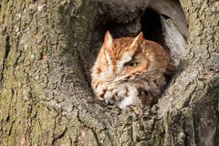 Red Morph Eastern Screech Owl (Margo Dolan) Tags: owl wisconsin ozaukee easternscreechowl red wildlife bird nature tree cavity