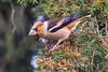 hawfinch (ianbollen) Tags: darleydale england unitedkingdom gb hawfinch finch derbyshire yew