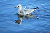 Un petit air qui décoiffe ! :-) (jean-daniel david) Tags: oiseau oiseaudeau mouette bleu reflet eau lac lacdeneuchâtel lathièle blanc noir nature