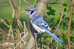 BlueJayNestBuilding (2) (Rich Mayer Photography) Tags: blue jay jays nest nests bird birds animal animals nature wild life wildlife avian bluejay nikon