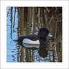 Tufted Duck (Aythya fuligula) (prendergasttony) Tags: bird avian rspb outdoors nature nikon d7200 flight pov dof wings birdwatching outdoor wild nesting england elements feathers soar wingspan feet white beak heron wigan pennington motion action water sunlight tonyprendergast january 2018 aythyafuligula waterdroplets reeds reflection