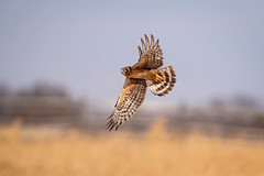 Sweeping the field... (DTT67) Tags: northernharrier hawk 1dxmkii canon bird hunting flight bif nature wildlife