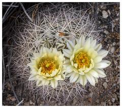 Echinocactus? (AnEyeForTexas) Tags: chihuahuandesert cactus desert brewstercounty texas botanicals plant flowers