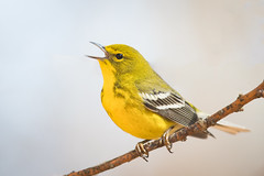 Pine Warbler, Hoosier National Forest, February 26th, 2018 (Ryan J Sanderson) Tags: ryan sanderson canon 1dx mark ii 600 f4 is l 14x tc iii pine warbler hoosier national forest february 26th 2018