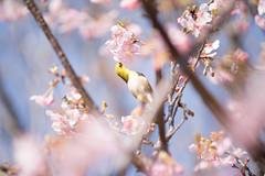 _DSC0748.jpg (plasticskin2001) Tags: mejiro sakura flower bird
