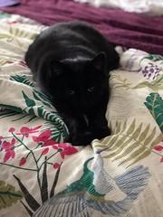 Supercat (BiggestWoo) Tags: pose fur hairy pussy purr black bed repose sleep sleepy superhero cat