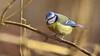 La Mésange (Phil du Valois) Tags: mésange bleue cyanistes caeruleus eurasian blue tit herrerillo común chapimazul blaumeise kék cinege pimpelmees cinciarella europea blåmes blåmeis sýkorka belasá sýkora modřinka blåmejse sinitiainen mallerenga blava eurasiàtica blámeisa modraszka zwyczajna zilzīlīte plavček лазоревка アオガラ 青山雀 歐亞藍山雀