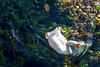 White Goose _3784 (hkoons) Tags: bay biscay western europe atlantic european iberia spain spanish vegadeo coast coastal fish ocean port sea