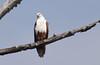Brahminy kite (praveen.ap) Tags: brahminy kite brahminykite redbacked seaeagle red backed sea eagle redbackedseaeagle moyar dam moyardam mudumalai mudumalaitigerreserve raptor bird