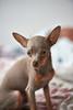 Pixie (Dmitry_Pi) Tags: pixie dog relax portrait herbst autum badgoisern austria österreich russkiytoy pet toy animal innsbruck tree hat bear