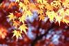 Bokeh étoilé. / Starry bokeh. (aragache) Tags: feuilles automne autumn fall saison canon 600d sigma light lumière nature jaune yellow