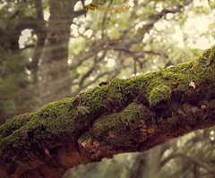Bosque de la Niebla 6 (PictureJem) Tags: nibela destellos bosque naturaleza vegetacion musgo arbol
