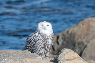 A beautiful snowy is relaxing in the sun on the New England Coast