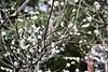 Plum flower 李花 (sal.c) Tags: canon 700d taiwan taipei banqiao 板橋 台灣 台北 plumflower