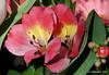 Lelie  Explored#93 (ditmaliepaard) Tags: lelie bloem flower boeket explored03