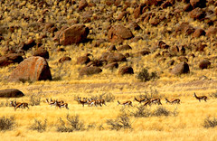 Desert Farm (Zoom58.9) Tags: springbock springböcke tiere wildtiere wildnis gräser sträucher felsen steine granitsteine gelb rot wüste safari herde landschaft natur afrika namibia namib sossusvlei springbok springboks animals wildlife wilderness grasses shrubbery rocks stones graniterocks yellow red desert herd landscape nature africa canon eos 50d