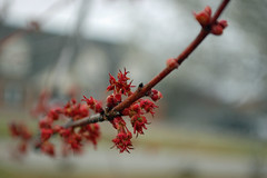 Red Buds On A Tree. (dccradio) Tags: lumberton nc northcarolina robesoncounty outdoors outside nature overcast cloudy thursday morning goodmorning spring springtime tree trees treebranches branch branches treelimbs treelimb red bud buds budding macro bokeh