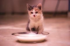 kitten (obyda) Tags: kitten kittens milk white cat cats animals