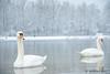 Freezing queens (matthiasherr711) Tags: winterwonderland frozen eis sea lake winter schwan swanlake swan