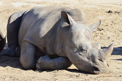 DSC_4273 (Andrew Nakamura) Tags: animal mammal rhino rhinoceros whiterhinoceros southernwhiterhinoceros southernwhiterhino rhinojuvenile lyingdown sleeping naptime sandiegozoosafaripark safaripark escondido