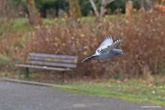 Flying by - HBM! (JSB PHOTOGRAPHS) Tags: jsb3029 nikon d600 105mm altonbakerpark eugeneoregon benchmonday bench happybenchmonday pigeon inflight trees bushes hbm