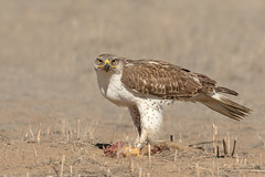 Ferruginous Hawk (Amy Hudechek Photography) Tags: ferruginous hawk raptor dinner prairie dog carcass eat winter march rockymountainarsenalwildliferefuge wildlife refuge nature colorado amyhudechek nikond500 nikon600f4