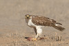 Ferruginous Hawk (Amy Hudechek Photography) Tags: ferruginous hawk raptor dinner prairie dog carcass eat winter march rockymountainarsenalwildliferefuge wildlife refuge nature colorado amyhudechek nikond500 nikon600f4