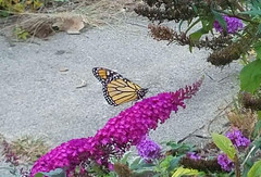 Monarch Butterfly (RockN) Tags: monarchbutterfly butterflybush october2017 maryannstaogarden worcester massachusetts newengland