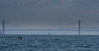 Whale Spotting (adamrferry) Tags: whalewatching humpbackwhale bay sea animal goldengatebridge bridge golden gate california boat sanfrancisco