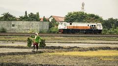 Farmer and Train (Muh Nasrul K) Tags: rice field farm train railway locomotive dslr human interest farmer planting harvest nature transportation
